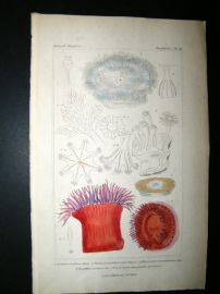 Cuvier C1835 Antique Hand Col Print. Sealife #20